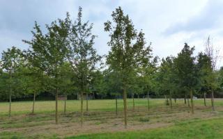 Acer campestre 35-40