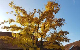 Acer campestre herfst
