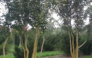 Acer campestre 500-600 meerstammig