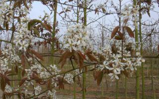 Amelanchier lamarckii bloei
