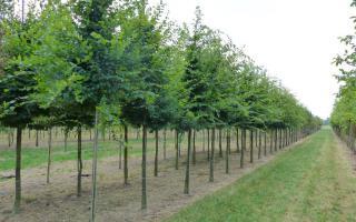 Carpinus betulus 18-20