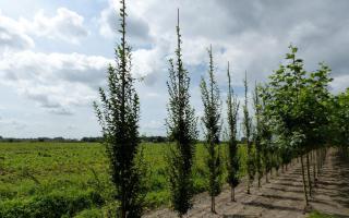Carpinus betulus 'Fastigiata' 12-14