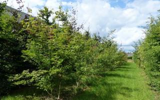 Acer cissifolium 'Henryi' meerstammig 300-350