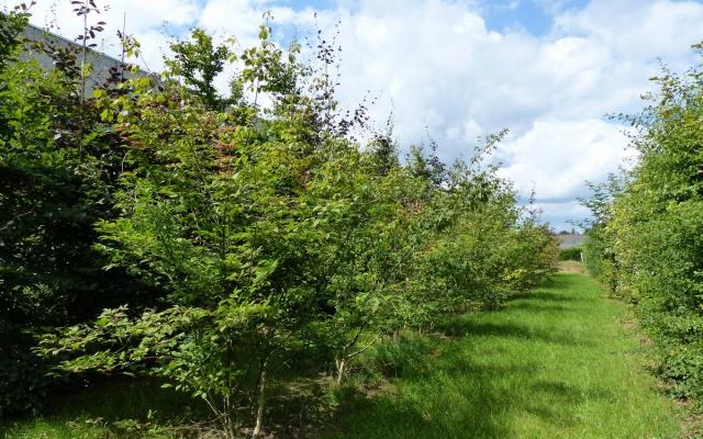 Acer cissifolium 'Henryi'