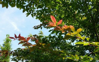 Acer Henryi blad