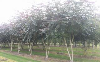 Ailanthus altissima meerstammig 400-500