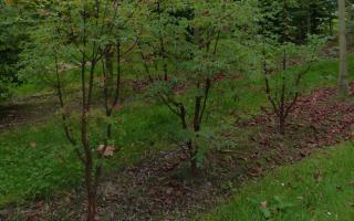 Acer griseum meerstammig