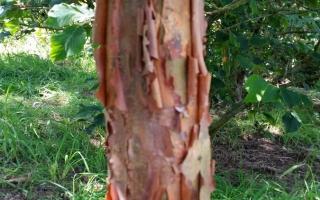 Acer griseum schors