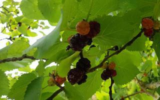 morus nigra vrucht