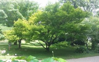 Acer palmatum meerstammig3