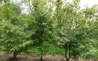 Acer palmatum meerstammig 175-200