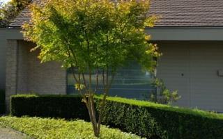 Acer palmatum meerstammig 250-300