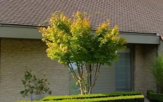 Acer palmatum meerstammig 300-350