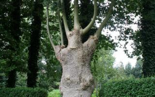 Fraxinus excelsior knotboom