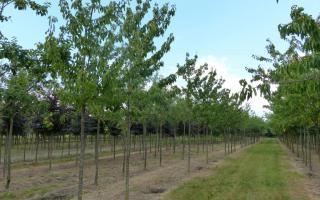 Prunus avium 'Hedelfinger' 20-25