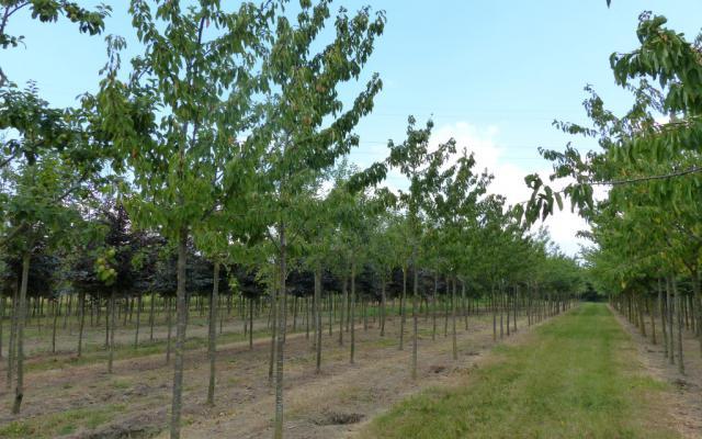 Prunus avium - eetkers