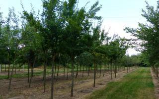 Prunus domestica 'Reine claude d'oullins' 20-25