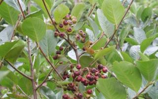 Aronia arbutifolia solitaire struik bessen