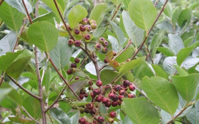 Aronia arbutifolia 'Briljant'