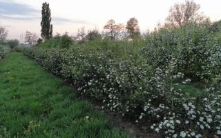 Aronia arbutifolia solitaire struik bloei