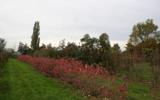 Aronia arbutifolia herstkleur