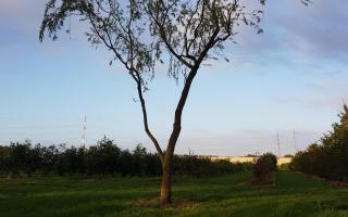 Salix sepulcralis 'Chrysocoma' nr447