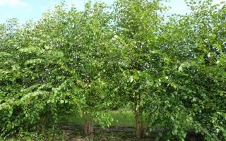 Betula nigra meerstam 400-500