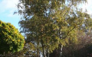 Betula pendula meerstammig