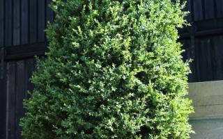 Buxus sempervirens solitaire struik