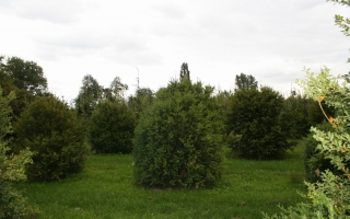 Buxus sempervirens solitaire struik 200-250