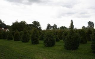 Buxus sempervirens solitaire struik 175-200