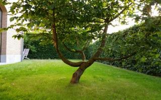 Carpinus betulus solitair karaktervol