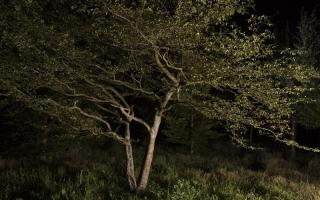 Carpinus betulus meerstammig extra solitair