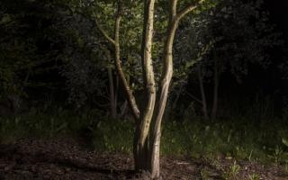 Carpinus betulus 600-700 meerstammig